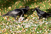 Crows eating carrion (Jud's Photography) Tags: nature wildlife animals crow carrion food eating bird birds