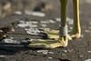 The ringed gull (pakerholm) Tags: commongull ring ringed ringmärkt fiskmås laruscanus sigma150600 sigma150600f563dgsports sigma150600mmf563 sigmasport sigma 150600 600 nikon d600 d610 nikond600 nikond610 fullframe fullformat fågelskådning ornitologi ornithology birdwatching birds bird fågel fåglar linnut lintu wildlife animals vildadjur oxelösund södermanland sörmland sweden sverigebrannäs brannäsvåtmark wetlands