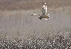 Eye in the Sky - Short-eared Owl Hunting (kenyoung3) Tags: asioflammeus shortearedowl deltabccanada hunting birdsofprey raptors birdsinflight bif owl