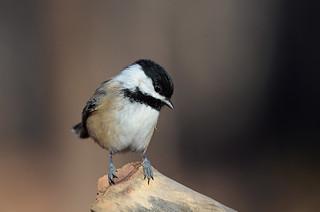 Mésange à tête noire / Black-capped chickadee
