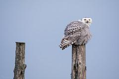 Snowy Owl (NicoleW0000) Tags: snowyowl owl wild wildlife outdoor photography ontario