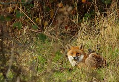 Fox in a field sheffield 3 dec 2017 (6) (Simon Dell Photography) Tags: urban red fox simon dell photography sheffield shirebrook s12 valley hackenthorpe old new pictures autumn winter colors animal nature wildlife uk england english countryside vulpes stunning detail sitting hill pose