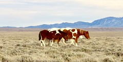 She was thankful for horses (prairiegirrl) Tags: wildhorses mustangs wildlife horses wyoming