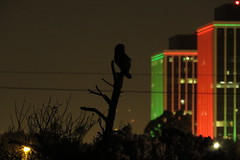 (stonebird) Tags: barnowl tytoalba ballonawetlandsecologicalreserve areab december stonebird img9576