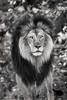 B&W Lion Look 3-0 F LR 8-26-17 J185 (sunspotimages) Tags: lion malelions malelion lions nature wildlife zoos zoosofnorthamerica zoo bw blackandwhite monochrome