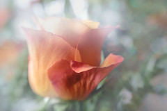 Autumn Roses (Betty Hodges) Tags: sweet50 autumn flowers macro flora roses lensbaby floral selectivefocus colourful rose flower yellow orange red