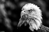 Serious (PeteWPhotography) Tags: bald eagle intense eye stare serious detail sharp