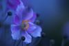 Moonlight shadow. (Gudzwi) Tags: anemone anemonehupehensis herbstanemonen chineseanemone flower bokeh happybokehwednesday blue bluehour blossom blüte blume garten garden lowkey unschärfe blur blurry pentacon yellow gelb violet violett blau blauestunde dämmerung twilight hbw 7dwf 7dwfwednesdaysmacroorcloseup closeup macro makro macroorcloseup light lowlight gedämpfteslicht mysteriös mysterious magic magical magisch