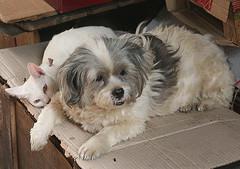 Living Peacefully Together (Wolfgang Bazer) Tags: cat dog katze hund friedliches zusammenleben living peacefully together bangkok chinatown thailand