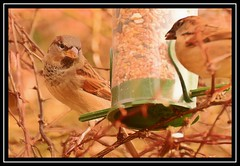 """Dinner For Two, My Friend...???"" (NikonShutterBug1) Tags: nikond7100 tamron70300mm birds ornithology wildlife nature spe smartphotoeditor birdfeedingstation bokeh birdsfeeding sparrow"