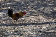 20171104 - Lago di Varano - 030 (orsoyoghurt) Tags: lagodivarano laghi gargano daunia orsoyoghurt animali uccelli galli