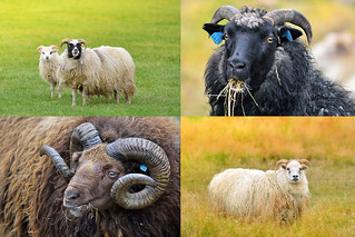 Icelandic lamb