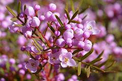 Boronia macro (andyscho2004) Tags: boronia barrengrounds kiama nsw newsouthwales australia au flora floral flower pink spring bloom nikon d7100 macro illawarra kangarooridgetrail