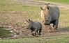 white rhino Burgerszoo BB2A6668 (j.a.kok) Tags: rhino rhinocerosunicornis neushoorn witteneushoorn breedlipneushoorn whiterhino animal africa afrika burgerszoo mammal herbivore zoogdier dier wiesje izala rhinoceros