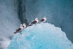 gaviotas en hielo (barragan1941) Tags: aves avesmarinas hielo islandia
