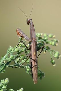 Louva-a-deus / Praying mantis