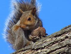 Squirrel working on lunch (Hayseed52) Tags: squirrel animal creature critter sunshine walnut blueskies nature tree