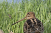 Latham's snipe, Gallinago hardwickii-5701 (rawshorty) Tags: rawshorty birds canberra australia act jerrabomberrawetlands