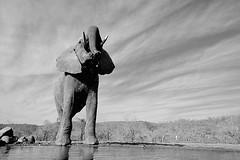South Africa, bw drinking (Vittorio Ricci (thanks +++ 3.3 millions views)) Tags: loxodontaafricana waterhole southafrica