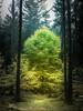 A sacred tree (Petr Sýkora) Tags: les podzim strom nature forest tree sacred wanderlust stride czech