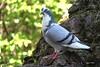 IMG_11937. Le pigeon pantouflard ( UNIXetvous ) Tags: bird tree pigeon