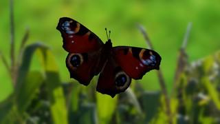 Butterfly in his world / Schmetterling in seiner Welt