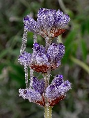 Crystalline. Lavender in Ice, Reuver, Limburg, The Netherlands (Rana Pipiens) Tags: hoarfrost meusevalleylimburgthenetherlands lavender lavandula flower diode led