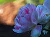 Tulip, a spring flower on a garden discount (kasiaczn) Tags: poland graden flower tulip spiring background kolorful pink white bulb plakes nature plants flowerbed gardens gardener day view front macro