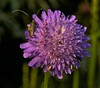 xyx-0238 (jozsef.fay) Tags: hely itthon köncsög növény virág rovar vadvirág állat