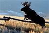 FROSTY MORN ... (Aspenbreeze) Tags: moose bullmoose wildlife wildanimal animal mooseantlers anterls jumpingmoose splitrailfence fence morning dawn frost fur nature rural wyomingwildlife coloradowildlife bevzuerlein aspenbreeze moonandbackphotography