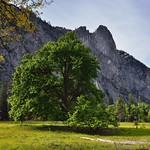 An Elm Tree to Take in Views of Mountain Peaks (Yosemite National Park) thumbnail