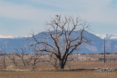 November 12, 2017 - A pair of Bald Eagles hang out north of Highway 7. (Tony's Takes)