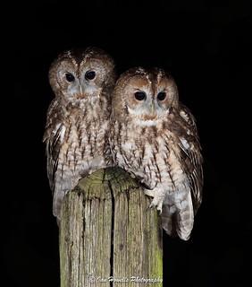 Twit two tawny owls