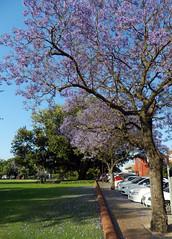 . (LeelooDallas) Tags: western australia perth northbridge urban landscape ttree flower blossom dana iwachow nikon coolpix s9200
