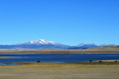 Open Range in South Park (Patricia Henschen) Tags: mtoxford fairplay colorado reservoir lake antero recreation southpark park county buffalopeaks reflection rural highcountry denverwater cattle openrange