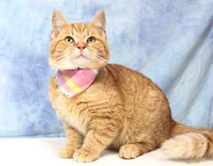 A37159411_Sonny3 (kentucky humane society) Tags: pet animal blue khs shelter dog white black cat tiger orange yellow