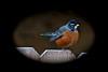 American Robin (deanrr) Tags: americanrobin robin fence autumn autumn2017 backyardbird nature outdoor alabamanature bird morgancountyalabama alabama
