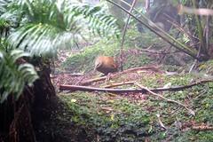 LHID 173 (newnumenor) Tags: australia lordhoweisland nsw wildlife