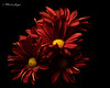 Mum Cluster 1012 Copyrighted (Tjerger) Tags: nature beautiful beauty black blackbackground bloom blooming blooms bunch closeup cluster fall flora floral flower flowers group macro mum plant portrait red wisconsin yellow mums natural