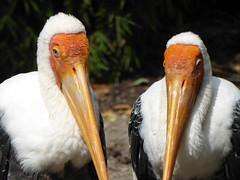 Statler & Waldorf (m_artijn) Tags: statler waldorf muppets blijdorp zoo rotterdam nl birds clair obscur light