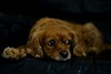 Toby resting on couch - oblivious to the thunder storm outside (PsJeremy - back and catching up...) Tags: cavoodle portrait 365 pet sony sonya711 soulful doggy poodle pooch