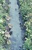 Rumex alpinus, Primula elatior. Rauris stream. (Mary Gillham Archive Project) Tags: 1965 52315 april1965 austria monksrhubarbprimulaelatior oxlip planttree rauris rumexalpinus