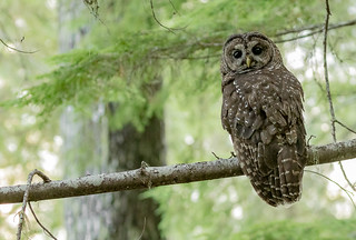 Northern Spotted Owl (Strix occidentalis caurina) stares back at me in an old growth forest.