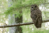 Northern Spotted Owl (Strix occidentalis caurina) stares back at me in an old growth forest. (bcbirdergirl) Tags: wa washingtonstate us usa strixoccidentaliscaurina northernspottedowl spottedowl raptor birdofprey trueowl owl conservation endangered rare stoploggingoldgrowthforests oldgrowthforests oldgrowthforest blessed magic