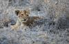 Lion Cub, Timbavati (Mike/Claire) Tags: lioncub 2016 southafrica tandatula timbavati