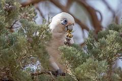 IMG_4124 (Betty AN) Tags: corella parrot rawnsleypark southaustralia