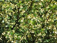 Elaeocarpus holopetalus 2 (barryaceae) Tags: australian national botanic gardens canberra act australianrainforestplant ausrfps black oliveberry elaeaocarpaceae