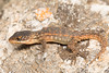 Cordylus vittifer - Transvaal Girdled Lizard. (Tyrone Ping) Tags: lizard lizards southafrica south southafricanreptiles southern africa macro mt24ex mpumalanga mountain mountains mx tyroneping wwwtyronepingcoza wild wildlife wildherps wildanimals wilderness f28 100mmmacrof28 african cordylus transvaal beautiful small cute creature critter canon closeup 5diii nature natural photography photo ping ngc snakesofsouthafrica