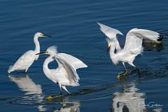 Family Feud (craig goettsch) Tags: avian nature wildlife blue white snowyegret nikon d500