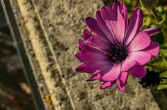 Purple flower. (gabriele_innocenti) Tags: new flower purple nature december flowers art pink